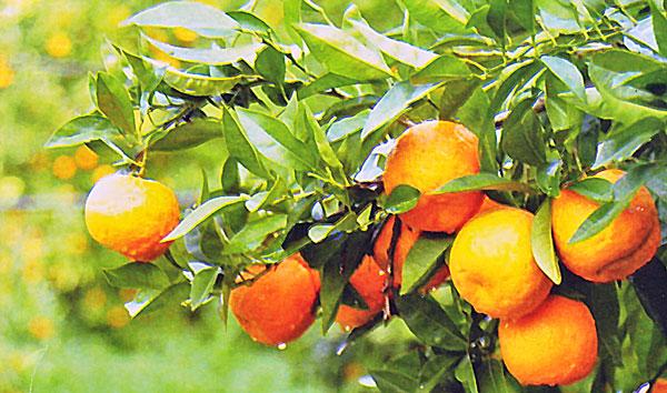 naranjas-amargas